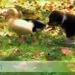 duck pups