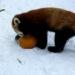 red panda pumpkin